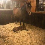 AQHA filly: VS Flatline x IOnlyWannaBeWithYou