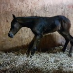 AQHA colt: My Rods Chipped x Illusive Invitation
