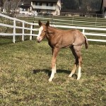 AQHA filly: The Rock x CPR Diabolic Zip